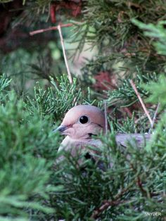 Dove... just1william.com List Of Birds, Birds And The Bees, Pictures Of Turtles, Infant Of Prague, Dove Pigeon, Mourning Dove, Turtle Dove, How To Attract Birds, Backyard Birds