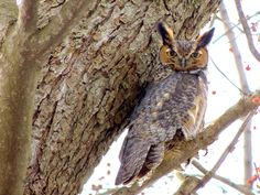 Great Horned Owl by Claire Talbot
