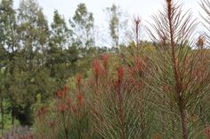 Plants | Ausflora Pacific | Aulax Bronze Haze