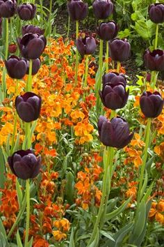 Tulip Queen of Night and Wallflower Fire King from Sarah Raven