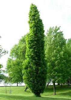Quercus x warei 'Nadler' - Kindred Spirit® Oak - Photo Courtesy of Bailey Nurseries