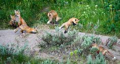 Fox kits having a fine morning frolic ~ photographer Jon Jacobs, Henry's Lake, Idaho  #fox #red_fox #Vulpes_vulpes  #myt