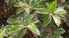 Ficus propagation