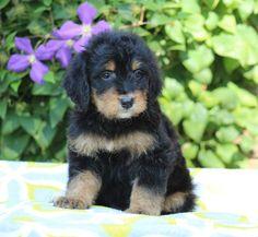 Beautiful BerneDoodle pups for sale! #BerneDoodle #BerneseMountainDog #Bernese #Doodle #Poodle #F1B #Puppy #Puppies