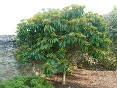 Daphniphyllum macropodum Plant Fungus, Tropical Garden, Fungi, Shrubs, Flowers, Mushrooms, Florals, Tropical Gardens, Flower