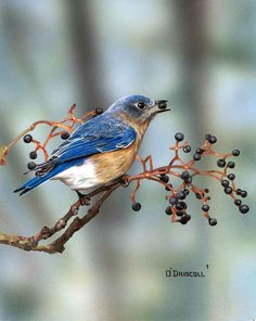 Blue Bird and Berries an acrylic painting by Wildlife Artist Danny O'Driscoll