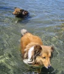 Shelties cooling off in summer!