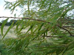 Salseiro. Salix humboldtiana.