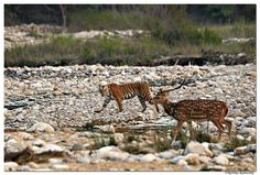 Rathika Ramasamy Photography Page Liked ·   Tiger watching@Bijrani zone, Jim Corbett National Park