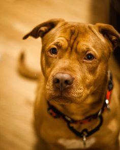 Portrait of a red rescue dog, Dog Photography, Fine Art Photography, Animal Photography, Rescue Animals, Washington DC, Pet Photography