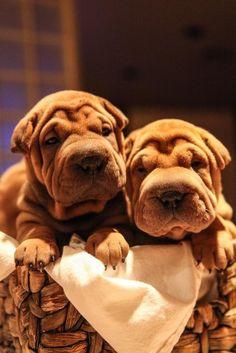 Shar pei puppies!! Too damn cute