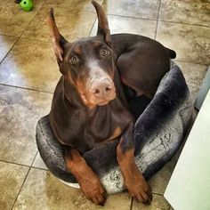"what the doberman has to say about it "" what do you mean im to big :( """