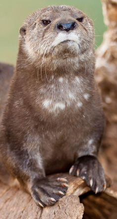 This otter is disappointed that you never finished Infinite Jest. (click through for more disappointed animals - too cute!)
