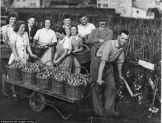 War effort: Workers at the firm help harvest tomatoes during the Second World War.