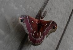 Rare Moth by William McCoy ~These gorgeous images are all available as prints in any size up to 3 x 4 FEET on canvas, acrylic, or metal with frames. Why not adorn your wall at a great price today! Types Of Moths, Butterfly Cocoon, Tropical Birds, My Cup Of Tea, Print Packaging, Cool Items, Dark Art, Moth Cocoon, Fashion Lookbook