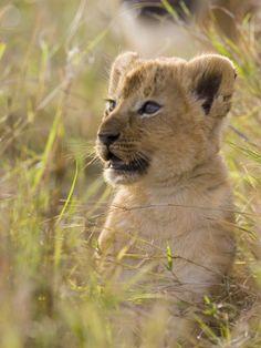 African Lion (Panthera Leo) Five to Six Week Old Cub, Vulnerable, Masai Mara Nat'l Reserve, Kenya