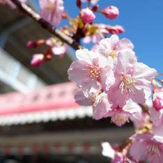 【054_ryo】さんのInstagramをピンしています。 《日曜日三浦海岸の桜祭り行ってきた! 思ったより桜が綺麗に咲いてた ド田舎散歩たのぴかた #三浦 #三浦海岸 #桜 #桜まつり #田舎 #festival #cherryblossom  #miura #ミラーレス #fujifilm》