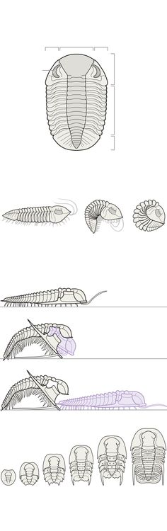 Trilobites: Variations on a Theme - NYTimes.com