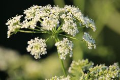 By: Gabe Garms  Poison hemlock (Conium maculatum) is one of the deadliest plants in North  America and can be fatal if just a small amount is…