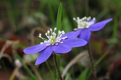 Anemone hepatica is a herbaceous perennial growing from a rhizome in the buttercup family, native to woodland in temperate regions of the Northern Hemisphere - Leberblümchen