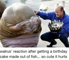 Awww =) walrus reaction after getting a bday cake made out of fishes!