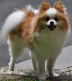 6-year-old Pomeranian went missing Monday night in New Canaan near the Wilton town line   he went missing in the woods near 567 Cheese Spring Road, white, brown red 203-807-2690 and herbiejazz@optonline.net