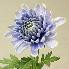 First true blue mum, genetically engineered at Tsukuba Univ in Japan http://the-japan-news.com/news/article/0003868724