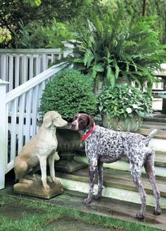 Do you like it here? German Shorthaired Pointer