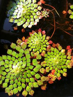 Mosaic water plants (Ludwigia Sedioides)
