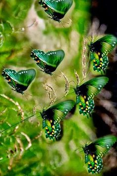 Beauty of green wings! Green Butterfly, Butterfly Flowers, Butterfly Artwork, Morpho Butterfly, Blue Morpho, Butterfly House, Beautiful Bugs, Beautiful Butterflies, Beautiful Things