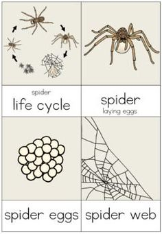 cbb0bd74bd0967b2c543325eda8e5fe8 60 best spider life cycle images in 2019 life cycles, spiders