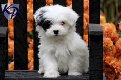 Maltipoo Puppy adorable!!
