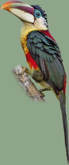 Araçari-mulato