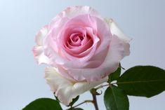 """""""Mandala"""" rose   #xactproducts #colorful #style #instaflowes #flowerporn #flowerstagram #flowersofinstagram #floristsofinstagram #floristry #florist #flowershop #ihavethisthingwithflowers #floristlife #eventflowers #seasonalflowers #floraldesigner Seasonal Flowers, All Flowers, Mandala Rose, Floral Design, Fragrance, Roses, Colorful, Plants, Style"""
