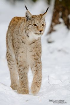 Luchs im Winter