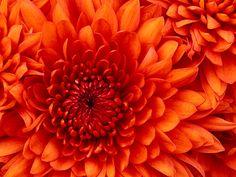 Chrome Themes: Chrysanthemum, floral, orange and pink