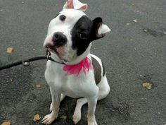 Manhattan NY.  China.  Spayed 13 mth old female.  Dies in a.m.  See Urgent Part 2 on fb.***RESCUED***