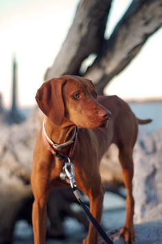 I used to have a Vizsla ~ he looked like this...what an awesome dog!!! His name was Oscar....for Mr. Schindler. Rest in peace both of you.