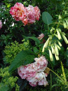 plantes vivaces - pépinière auvergne - les jardins des hurlevents - jardins auvergne-http://www.plantes-vivaces-hurlevents.com/