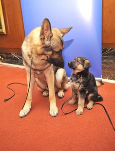 German Shepard Adult and Pup