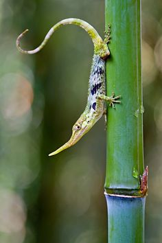 mysleepykisser-with-feelings-hid:  This lizard commonly known as the  Pinocchio lizard (Anolis proboscis) was presumed extinct when it was not  seen after the 1960s, it was rediscovered in 2005. The species had been  officially sighted only three times since that year until 2013 when  researchers found evidence of a breeding colony in the remote regionsPhotograph by Lucas Bustamante, tropicalherping.com via voices.nationalgeographic.com