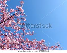 cherry blossom and clear blue sky on spring season.