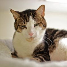 Hank is a large, handsome male cat awaiting adoption at Tabby's Place in Ringoes. About 8 years old, Hank has a brown tabby coat with white on his face, belly, chest and the tip of his tail. Hank adores...
