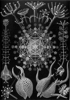 Radiolaria drawings by Ernst Haeckel  Radiolaria are microscopic single celled organisms that live in the ocean. Each radiolarian builds a unique skeleton of silica that extends from and surrounds its cell membrane. The form of these skeletons varies from species to species but they are generally composed of different scales of pores and spines.