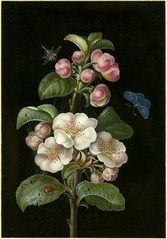Работа- Барбара Regina Dietzsch(18 век)  была художница и иллюстратор из Нюрнберга династии художников Dietzsch.