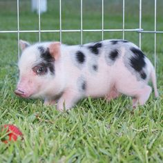 Carolina Mini Pig - Dalton (AMPA) Mini Pigs For Sale, Juliana Pigs, Pets, Happy, Animals, Animales, Animaux, Ser Feliz, Animal