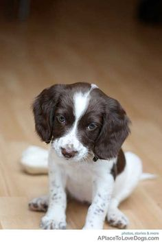 Another English Springer Spaniel puppy in a year or so to go with our present lovely 8 month old ESS puppy :-) x