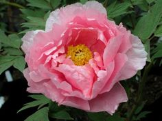 Peony 'Hana Kisoi', 'Duchess of Marlborough', 'Floral Rivalry' - Japanese Tree Peony***Love the Peony Tree Peony, Peony Flower, Flower Art, My Flower, Shade Flowers, Beautiful Flowers, Peonies For Sale, Japanese Tree, Garden On A Hill
