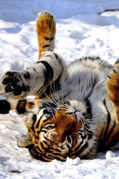 Tiger Rolling in the Snow ~ by: Josef Gelernter - Tiere - Animais Pretty Cats, Beautiful Cats, Animals Beautiful, Pretty Kitty, Wild Life, Animals And Pets, Cute Animals, Gato Grande, Photo Animaliere