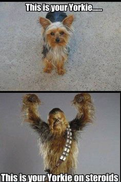 Yorkshire terrier - Yorkshire terrier on steroids